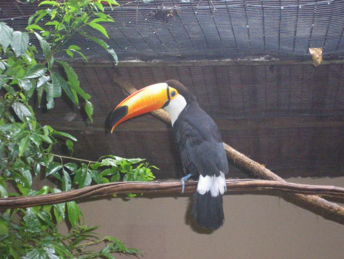 Тукан в Птичия парк, Игуасу